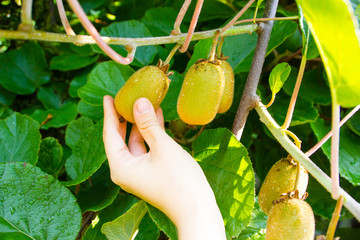 Female white hands are collecting or harvesting fresh and organic kiwi fruits from a tree in the garden on a sunny day