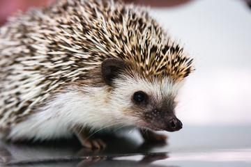 small hedgehog, raised as pet, pet small exotic