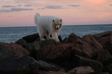 Samoyed on the waterfront. white polar dog on a rocky hill at sunset, dawn.