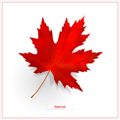 Maple leaf isolated on white background. Bright red autumn realistic leaf. Vector illustration eps 10
