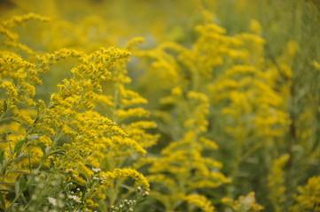 Goldenrod flowers in autumn field