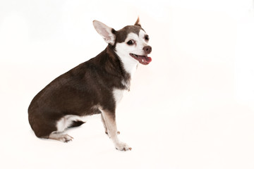 Chihuahua in brown and white colors  on a white background