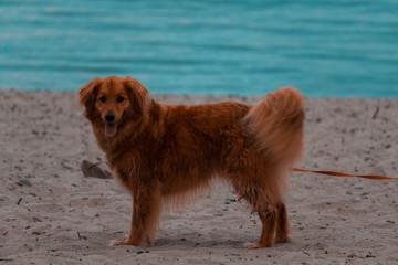 Dog on beach looking at camera