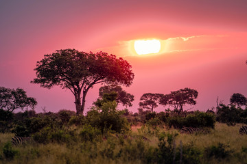 Pink sunset with zebras in the background during an African sunset while on Safari.