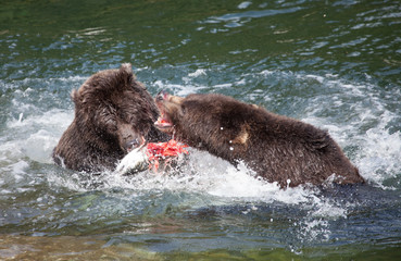 Grizzly Bears Fighting Over Salmon