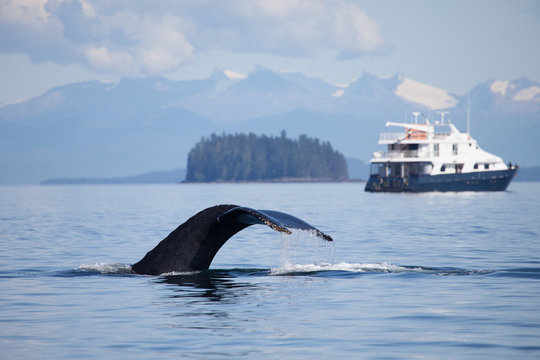 Humpback Whale lifts its tail high as a cruise ship looks on in the background