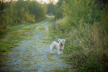 a small shaggy dog of sand color with a collar runs along a country path, the concept of walking and playing with Pets