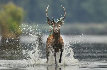 Recess Fitting Deer Deer buck (Cervus elaphus)