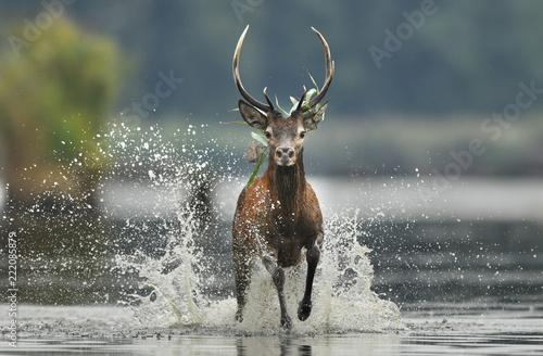 Fototapete Deer buck (Cervus elaphus)