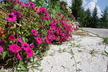 primavera di fiori magenta