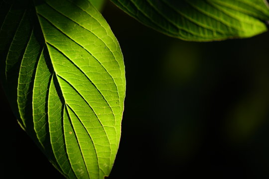 Pure Green Leafs in Sunlight