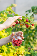 Close up vertical cropped photo of worker woman hands pluck ripe red raspberries from green bush and put it on transparent crystalline container