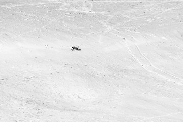 A dog running over a mountain field covered by snow