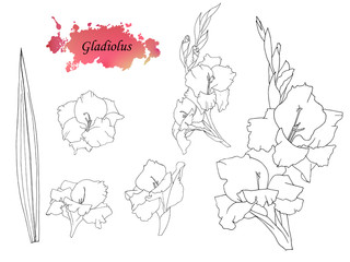Hand sketched set of Gladiolus baumii. Monochrome Flowers with pink watercolor abstract blotch. Isolated flowers and leaf of glad for postcard, print, decoration, backgrond. Collection of gladiole