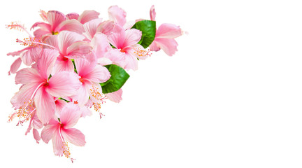 Pink Hibiscus Flowers isolated on white
