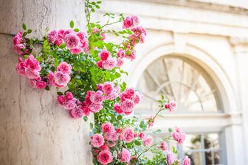 Roses climbing on column in italian patio