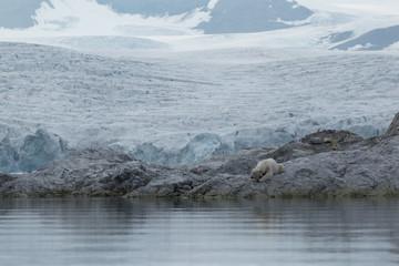 Female polar bear with collar in Svalbard.