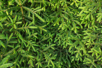 fir-tree branches with young sprouts