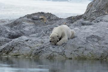 Acrylic Prints Polar bear Female polar bear with collar in Svalbard.