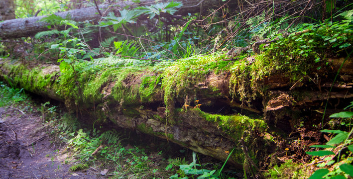 dead broken tree in a forest, moss and herb wrapped