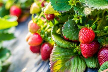 Strawberries on a farm field (closeup)