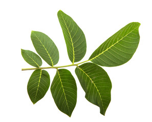 leaves of the walnut tree isolate