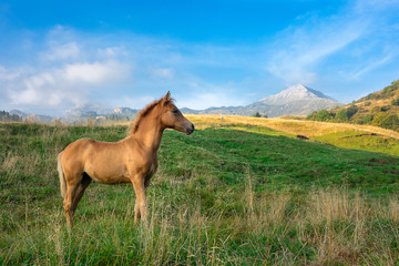 Photo sur Plexiglas Chevaux Foal only in mountain pasture in northern Italy