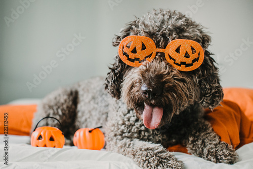 .Sweet and friendly brown spanish water dog playing in the bed of his owner with halloween costume. Funny moments dogfriendly. Lifestyle
