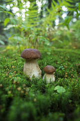 Boletus mushrooms