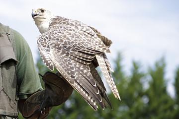 Falconer showing a falcon saker (Falco cherrug)