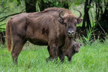 Wisent - European Bison