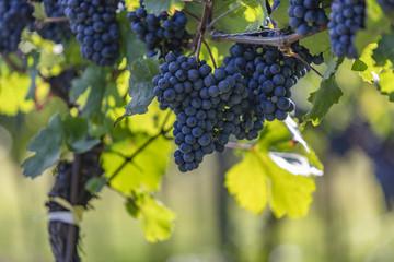 blue grapes in vineyard Fototapete