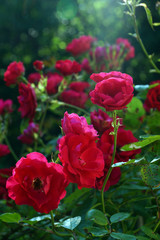 Red roses on blurred background