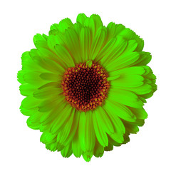 flower chartreuse maroon calendula isolated on a white  background. Closeup. Nature.