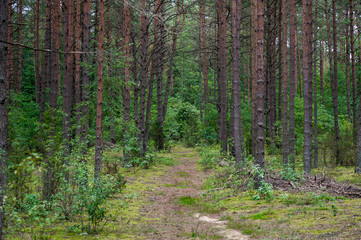 Forest with Trees and Moss in Background. Lithuania.