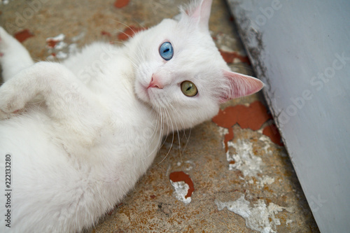 White Cat With Different Eyes Cat With 2 Different Colored Eyes