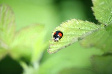 Käfer auf Brombeere