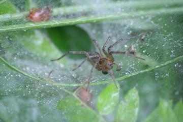 Spinne im Trichternetz