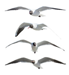 four flying black-headed gulls on white