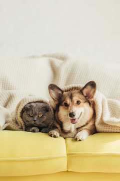 cute welsh corgi dog and cat lying under blanket on sofa