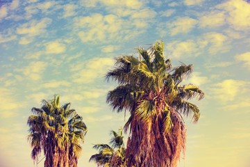 Grove of tropic palm trees against the blue cloudy sky. Tropical evening landscape