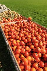 Harvest of Pumpkins - Bavaria Germany