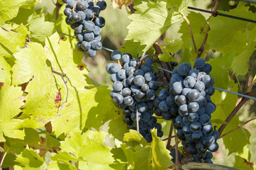 Grapes in detail