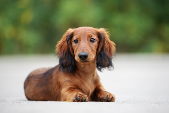 beautiful dachshund puppy posing outdoors