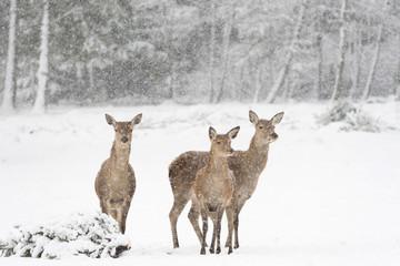 Foto auf AluDibond Reh Rehe vor verschneitem, winterlichen Wald