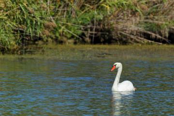 Mute Swan 0647