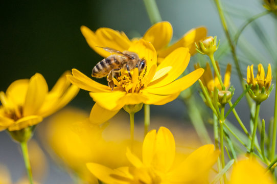 Close-up of bee drinking nectar from yellow wildflower on meadow