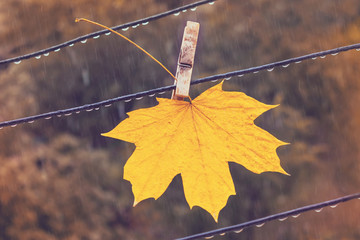 Yellow maple leaf in the rain. Autumn fallen leaf on a clothespin on a clothespin becomes wet under a rain against a background of trees