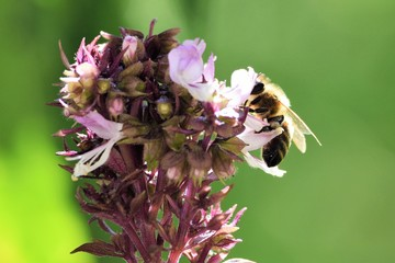 european or western honey bee sitting on the violet flower
