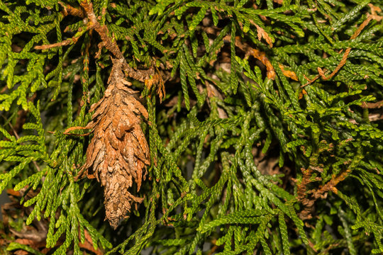 Evergreen Bagworms (Thyridopteryx ephemeraeformis)